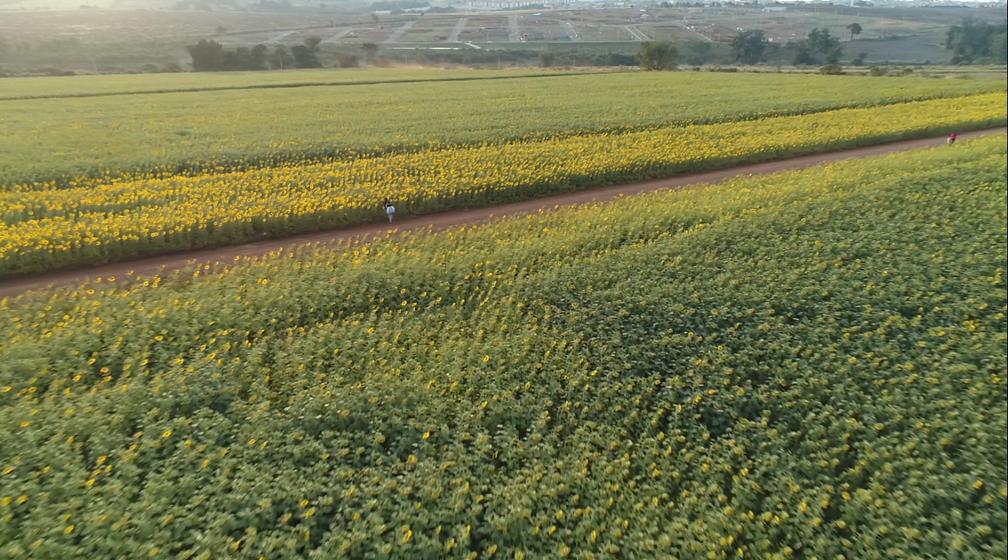 Plantação de girassóis em Sumaré (SP) tem mais de 800 mil metros quadrados (Foto: Jefferson Barbosa/Reprodução EPTV)