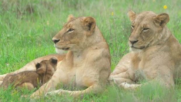 Os leões eram uma ameça aos rebanhos dentro e fora da comunidade dele, mas sistema de iluminação mantém os animais distantes (Foto: BBC)
