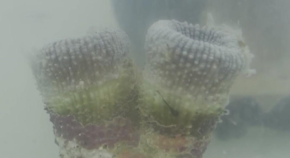 No segundo experimento, corais reagiram positivamente após contato com óleo — Foto: Reprodução/TV Santa Cruz