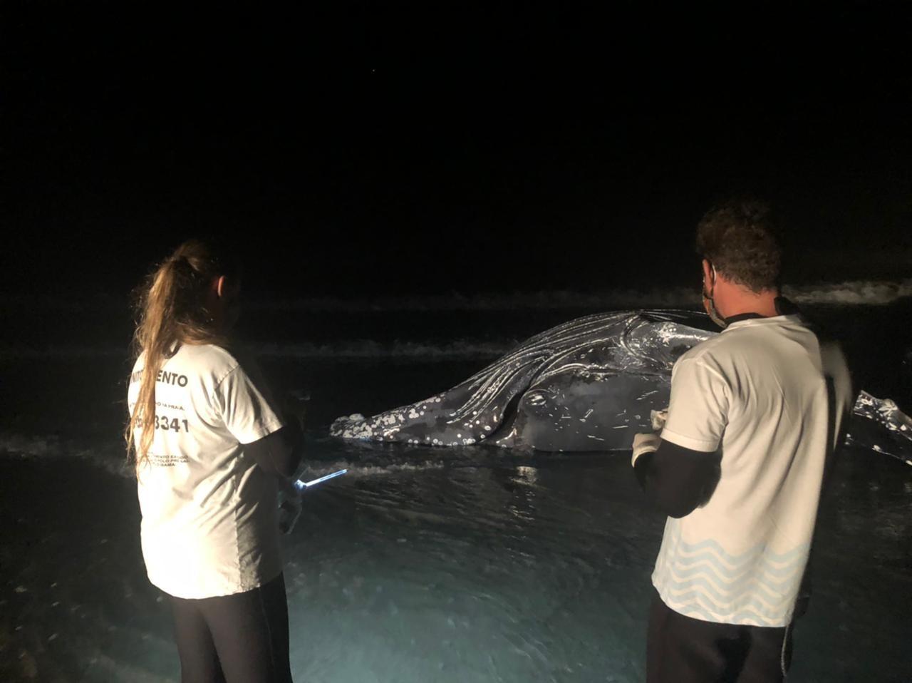 Baleia-jubarte com rede de pesca presa na cabeça morre encalhada em Guaratuba