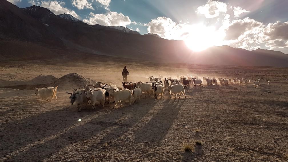 Camponês leva rebanho ao lado do lago Pangong Tso, em Ladakh, na Índia (Foto: Rafael Miotto / G1)