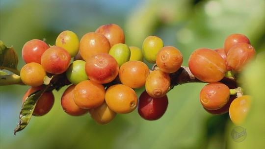 Colheita de café começa com expectativa de aumento de safra no Sul de Minas