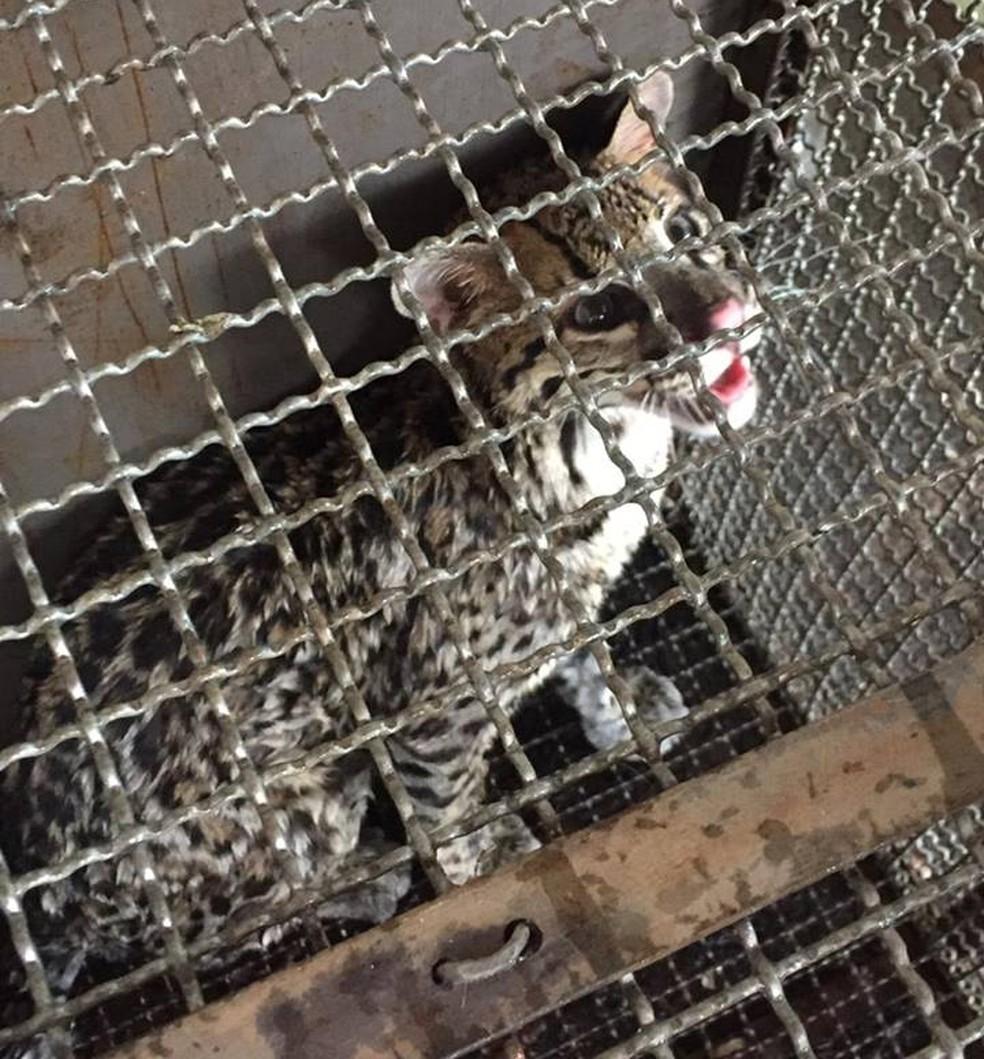 No mesmo dia, uma jaguatirica também foi resgatada — Foto: Corpo de Bombeiros