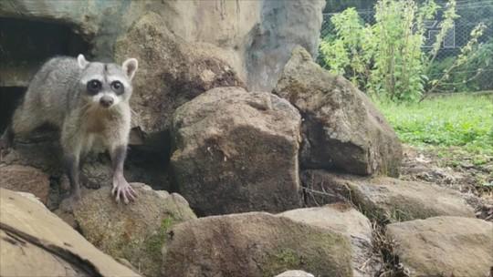 Guaxinim resgatado pelo Ibama ganha espaço que simula habitat natural no zoológico de Gramado