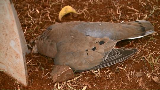 Secretaria de Meio Ambiente investiga morte de 16 pombos em Cascavel