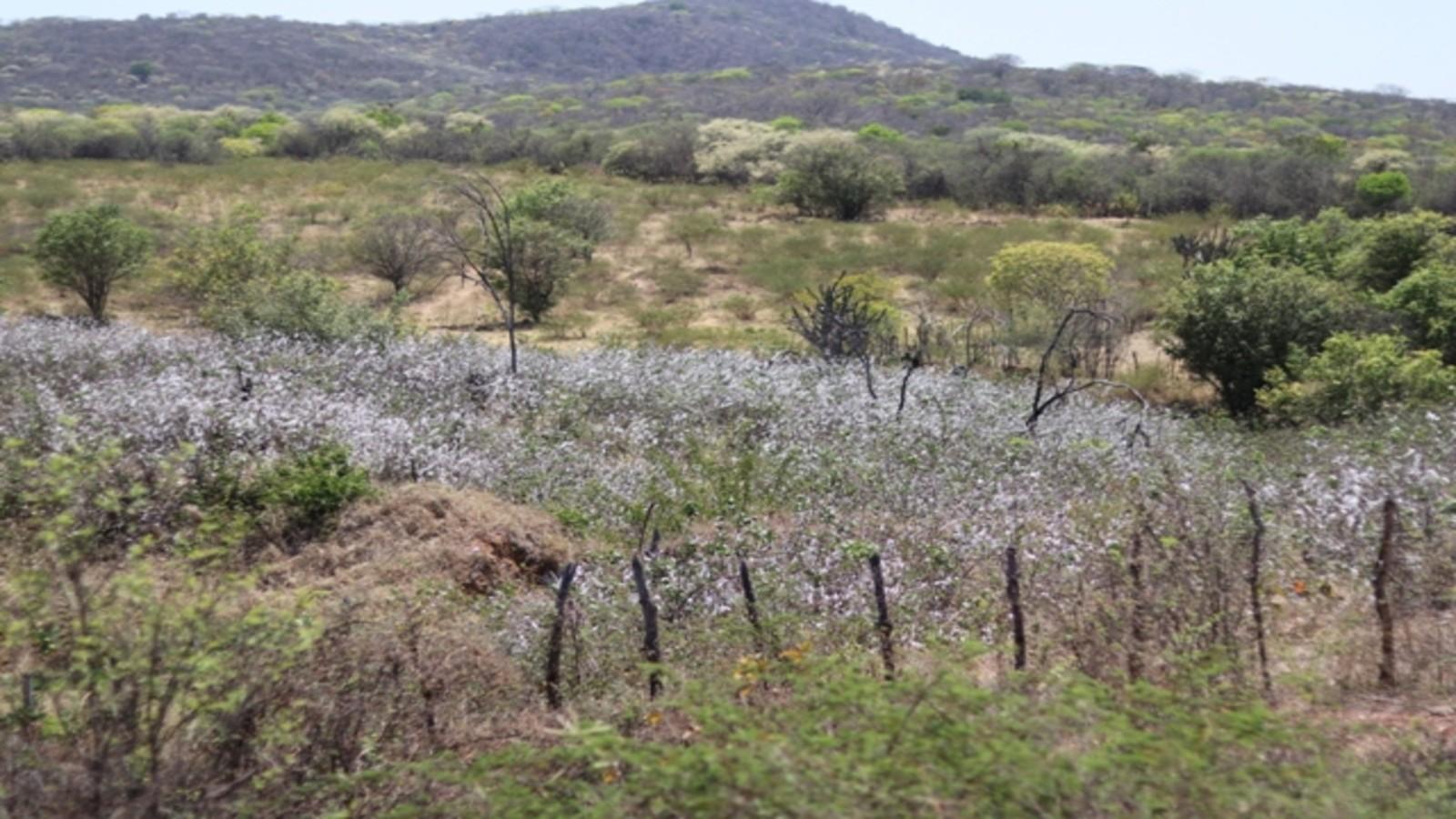 Algodão agroecológico fortalece renda de famílias agricultoras de Serra Talhada - Notícias - Plantão Diário