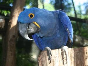 Desmatamento pode ter favorecido desaparecimento espécies como a arara azul. (Foto: Paula Sampaio/Museu Goeldi)