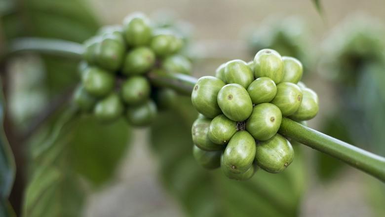 café-verde (Foto: Divulgação/Mensch)
