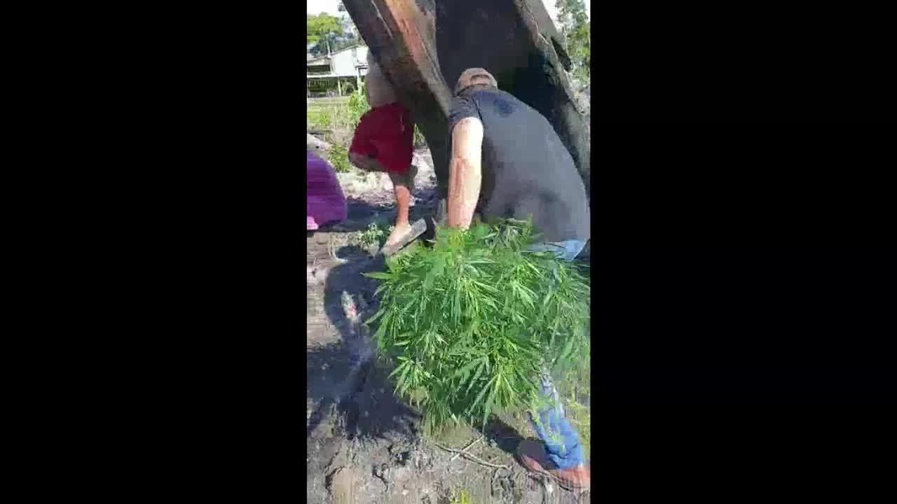 O Denarc encontra e destrói plantação de maconha em Zona Rural de Porto Velho