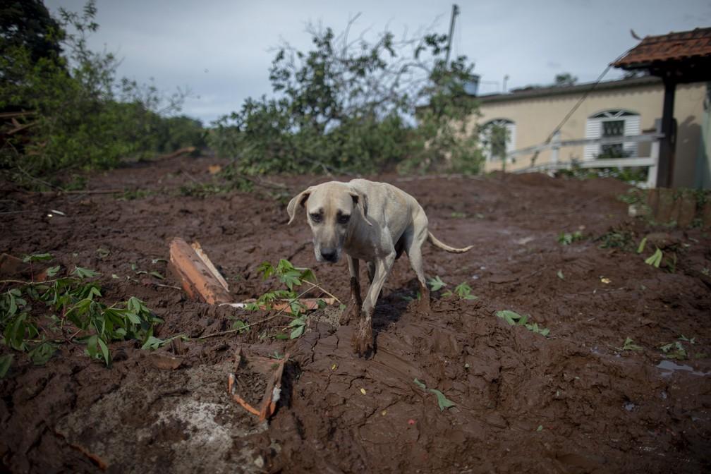 Um cachorro é visto no meio da lama na comunidade de Parque da Cachoeira, afetada pela lama depois do rompimento da barragem da Vale, em Brumadinho. — Foto: Mauro Pimentel/AFP