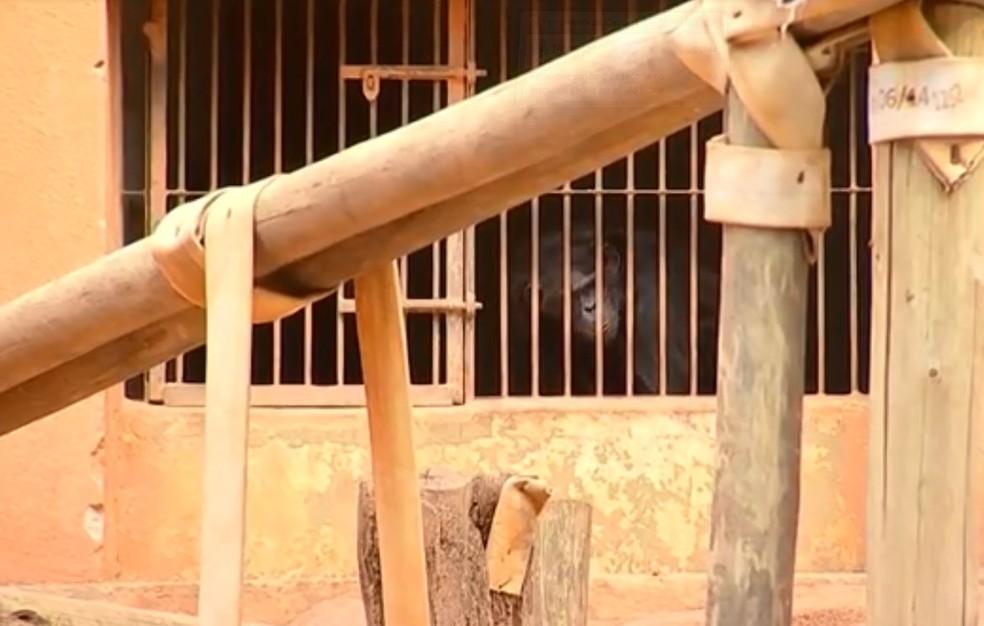 Ação do MP pede que dois chimpanzés sejam levados ao Santuário dos Primatas em Sorocaba — Foto: Reprodução/ TV TEM