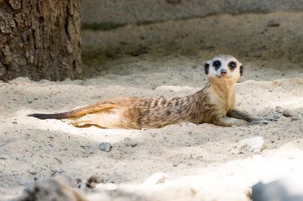 O animal pode atingir 26 cm de comprimento e um quilo (Fot Divulgação/Prefeitura de Sorocaba)