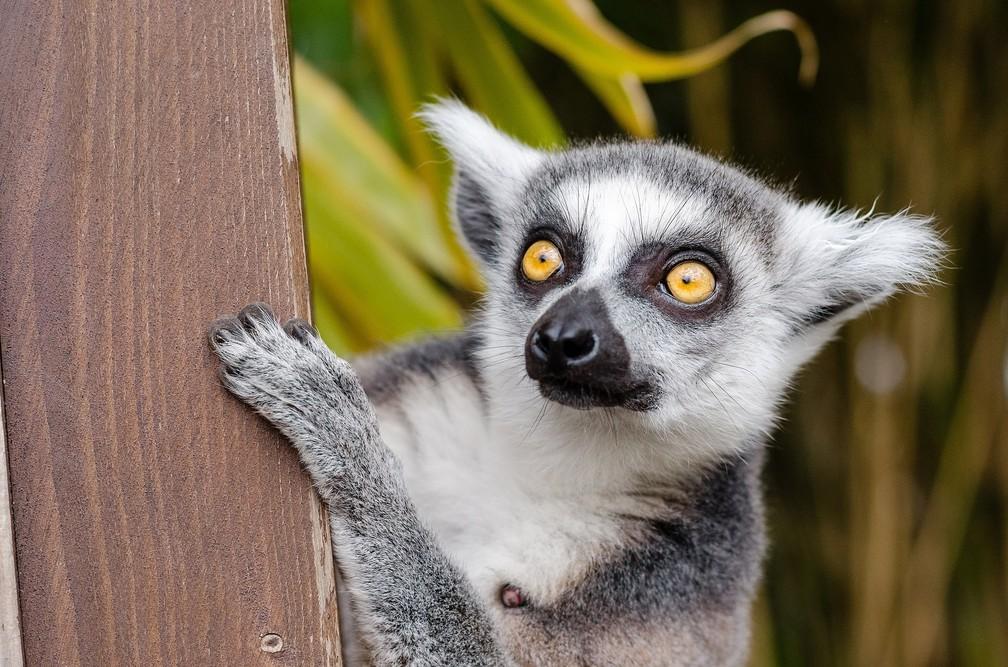 O lêmure-de-cauda-anelada é uma das espécies mais ameaçadas em Madagascar (Foto: skeeze/Pixabay)