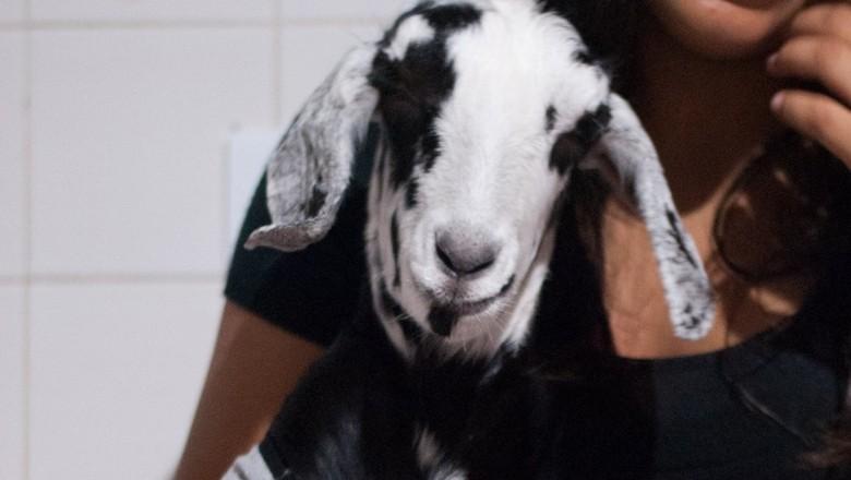 Festa de aniversário da cabra Cremosa (Foto:  Arquivo Pessoal)
