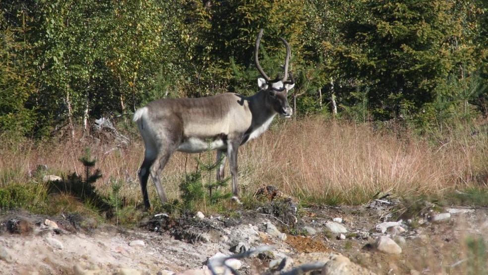 Fotos de animais observados em Rovaniemi, na Lapônia — Foto: Mariana Veiga/BBC