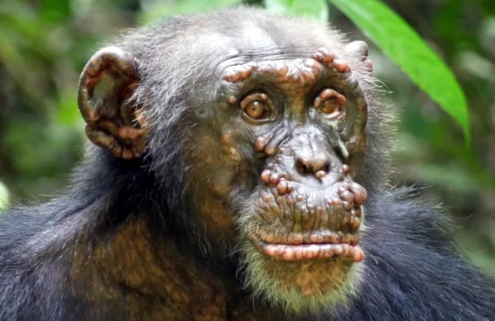 Os pesquisadores identificaram a doença  em duas populações diferentes de chimpanzés. — Foto: Divulgação/Nature