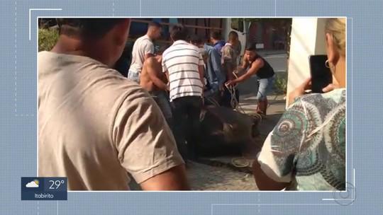Búfalos fogem e assustam moradores no centro de Pedro Leopoldo, na Grande BH