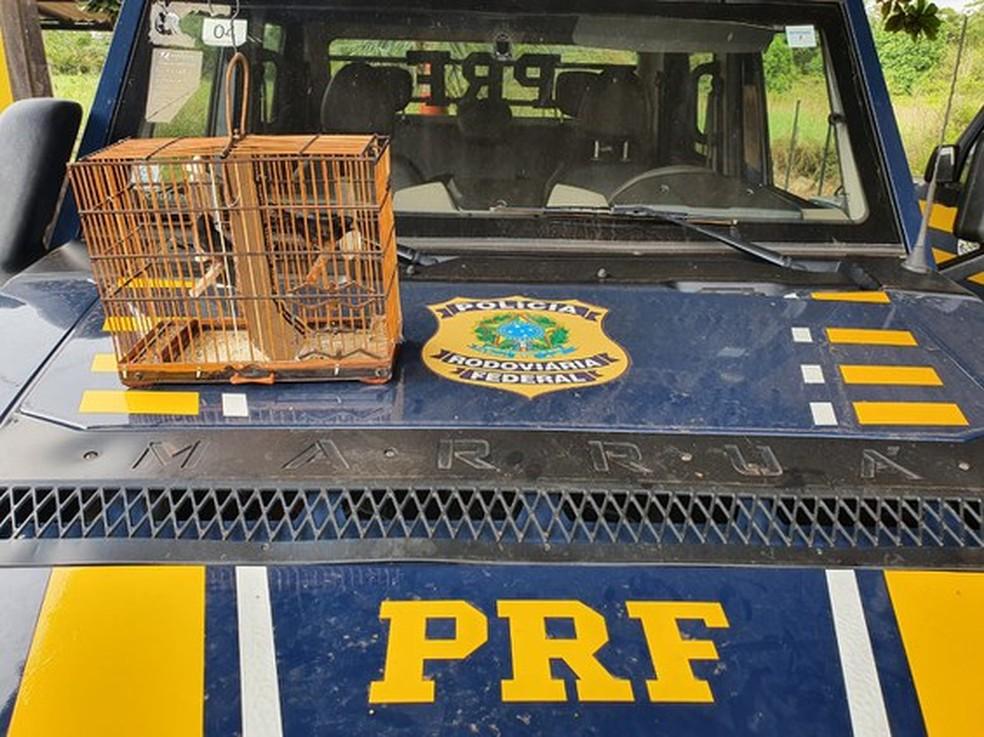 PRF apreendeu dois curiós durante fiscalização em ônibus de viagem no km 630 da rodovia BR-230, em Altamira — Foto: Divulgação/PRF