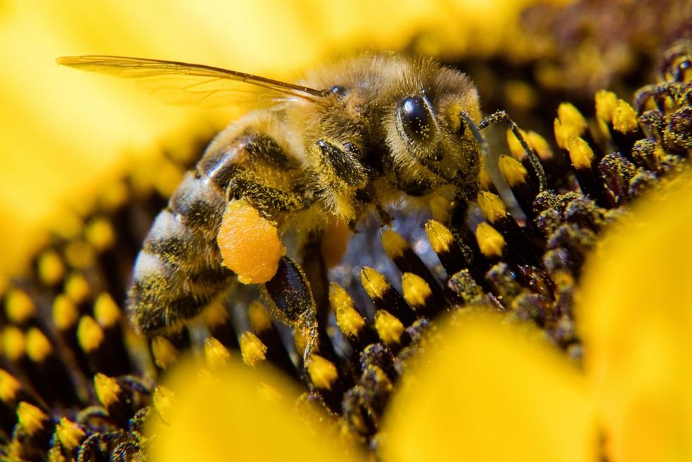 Uma abelha coleta pólen de um girassol, em Springe, perto de Hanover, na Alemanha — Foto: Julian Stratenschulte/dpa/AFP