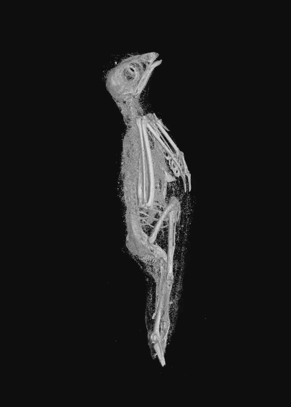 Imagem em alta resolução mostra interior em 3D de um pássaro mumificado no Egito Antigo, há mais de 2 mil anos. — Foto: Swansea University