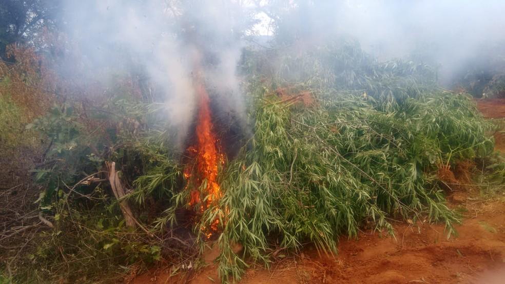 Erradicação de 14.008 pés de maconha na Serra da Bananeira, na Zona Rural de Cabrobó (Foto: Divulgação/ 2ª CIPM)