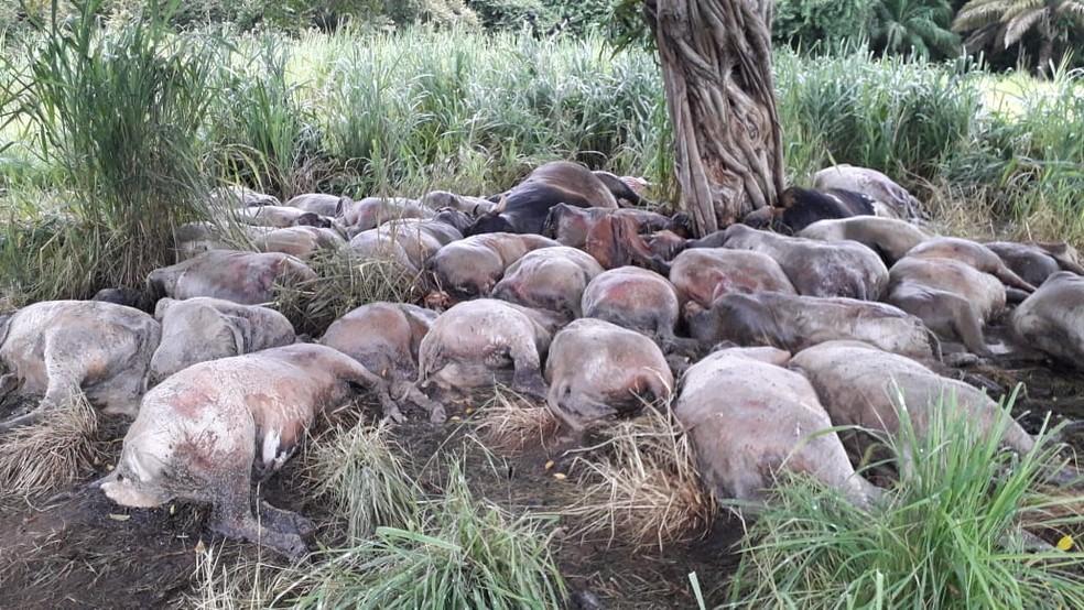 Fazendeiro encontrou os animais mortos no dia seguinte, após ser avisado pelos funcionários — Foto: Edmundo de Assis/Arquivo pessoal