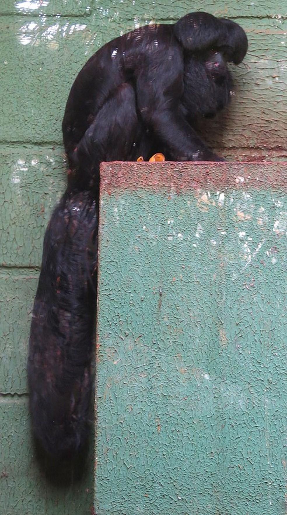 Cuxiú-preto (Chiropotes satanas) também está ameado de extinção (Foto: Miguelrangeljr/CC0 Creative Commons )