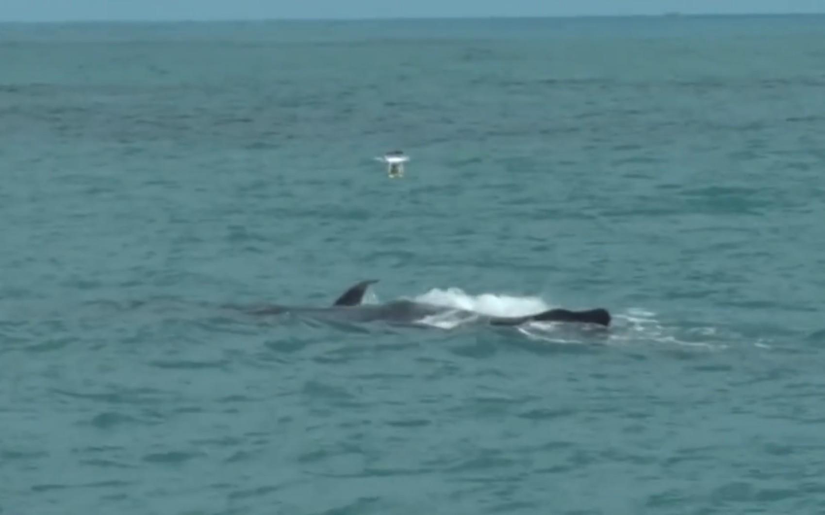 Pesquisadores coletam borrifos de baleias jubarte para avaliar qualidade da água do mar na BA