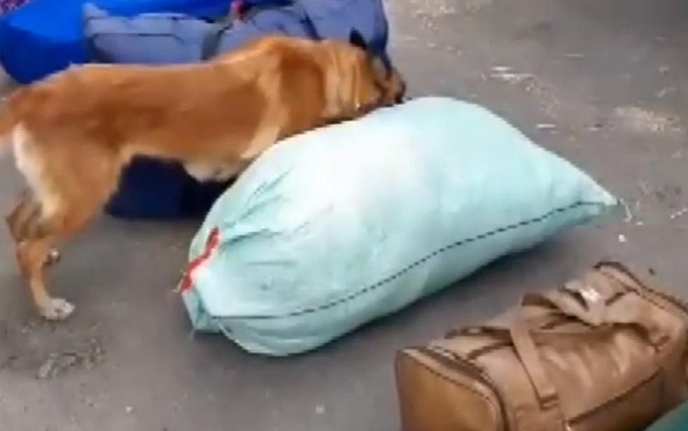 Duas mochilas com cerca de 30 kg de pasta base de cocaína são encontradas em praia de Belmonte, no sul da Bahia — Foto: Reprodução/TV Bahia
