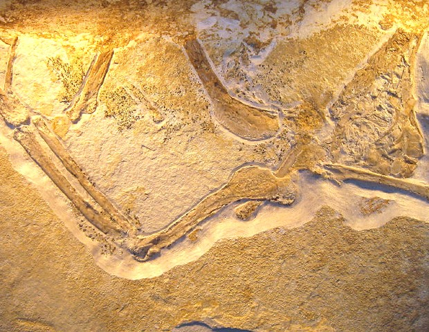 Parte do esqueleto do Archaeopteryx albersdoerferi encontrado em 1990 na Alemanha, mas que só foi liberado para estudo em 2009 (Foto: Wikkimedia / H. Raab)