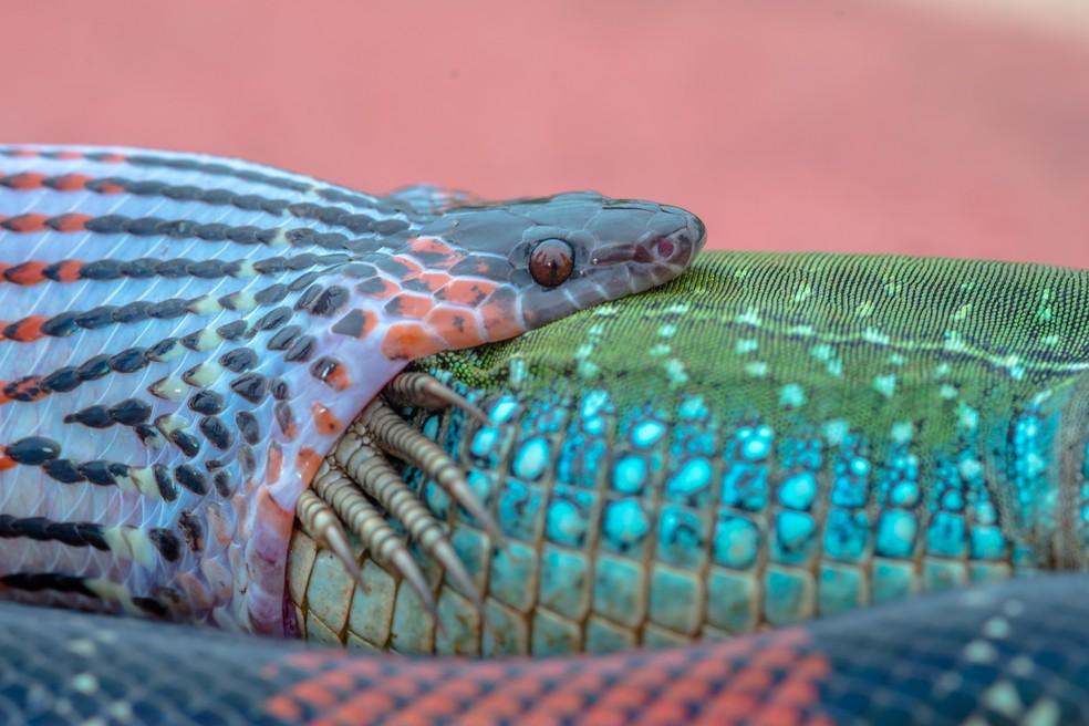 Em close, processo de deglutição da cobra, que desloca seu maxilar para engolir sua presa por inteiro (Foto: Junior Esteves)
