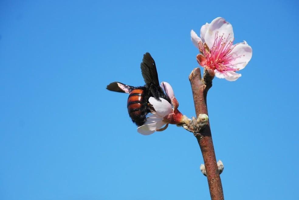 Em flores de pêssego, as mamangavas também realizam um importante trabalho de polinização — Foto: Betina Blochtein/Acervo Pessoal