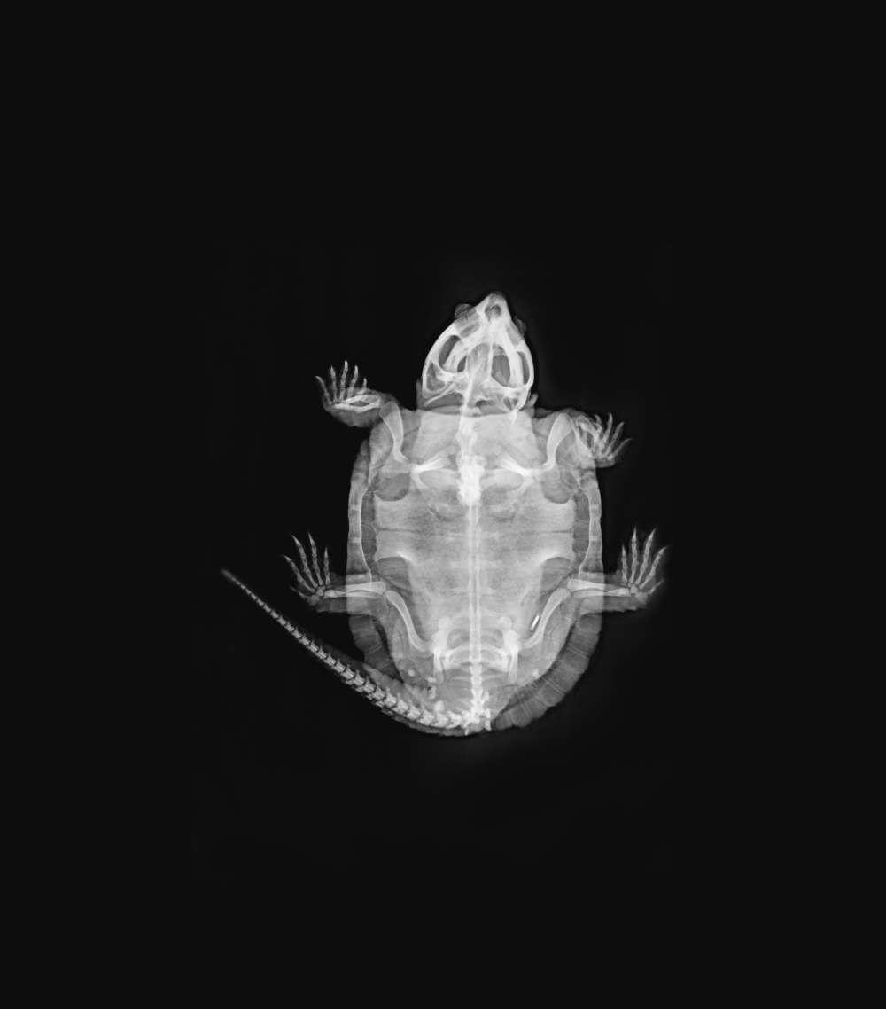 Espécie conhecida pelo nome de Tartaruga cabeção (Platysternon megacephalum) (Foto: ZLS Zoológico de Londres/ Divulgação)