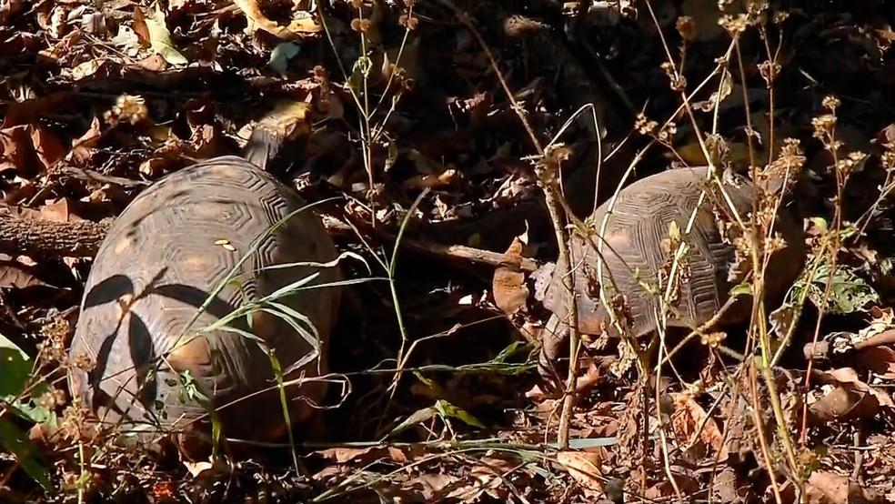 Jabutis soltos em área de mata (Foto: TVCA/ Reprodução)