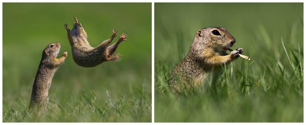 'Teste da confiança' e 'o flautista', da esquerda para direita: fotos feitas na Hungria por Roland Kranitzmostram um esquilo que parece estar se jogando para ser segurado por outro, em um 'teste de confiança', e, à direita, um esquilo com um pedaço de grama que parece uma flauta. — Foto: © Roland Kranitz/Comedywildlifephoto.com
