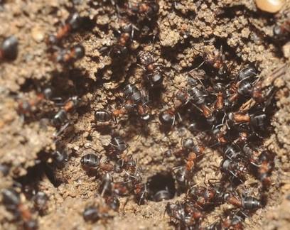 Formigas presas em antigo depósito soviético viram canibais para sobreviver