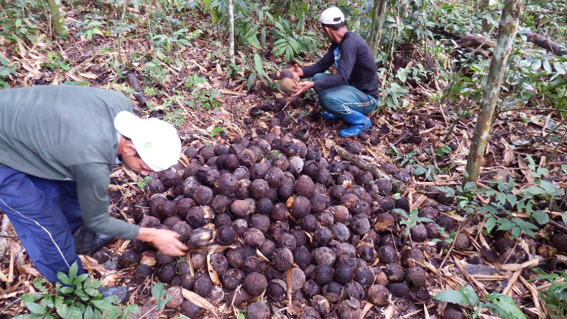 Coleta de castanha-da-amazônia na Reserva Extrativista Cazumbá-Iracema, no Acre. (Foto: IPE)