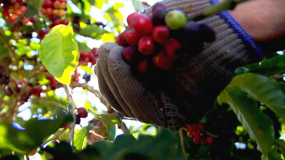 Produtores de Garça focam no plantio de cafés especiais (Foto: Reprodução/TV TEM )