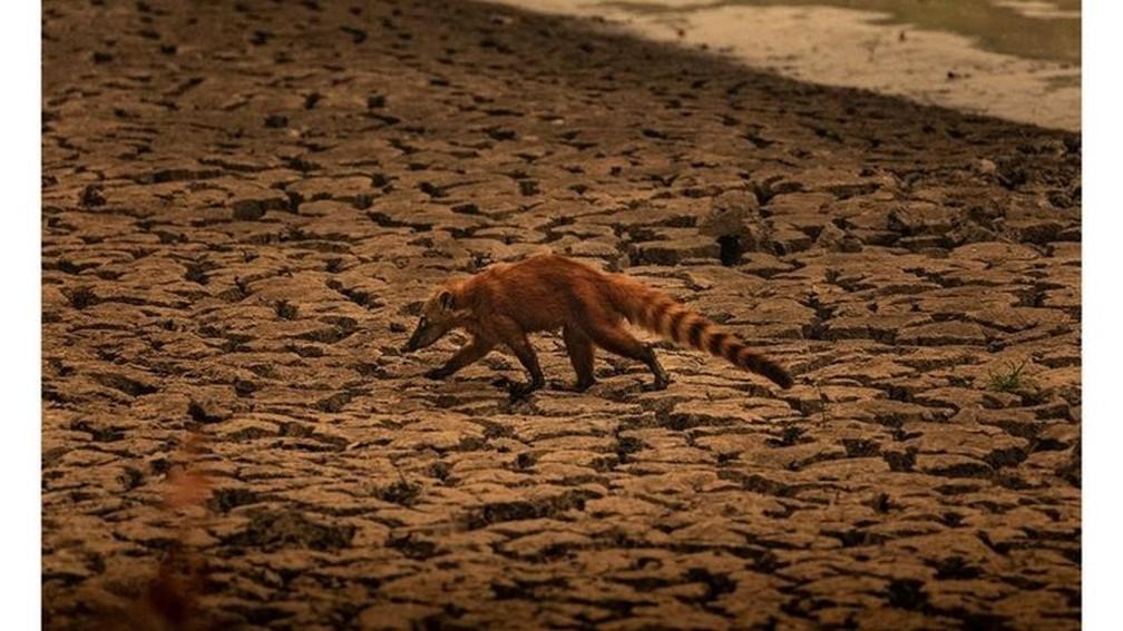 Quati busca por comida em meio ao cenário de seca no Pantanal — Foto: Frico Guimarães/Documenta Pantanal/BBC