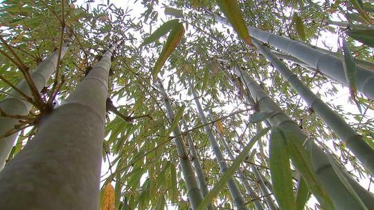 Revista conhece uma plantação de bambus, em Pardinho