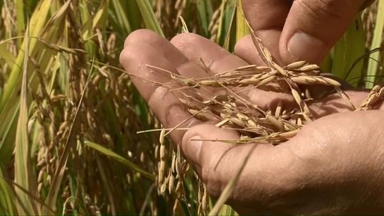 Chuvas comprometem lavoura de arroz; perdas chegam a 40%