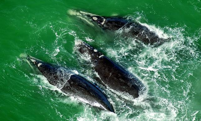 """Foto das baleias-francas, de Enrico Marcovaldi, no livro """"Amazônia Azul"""""""