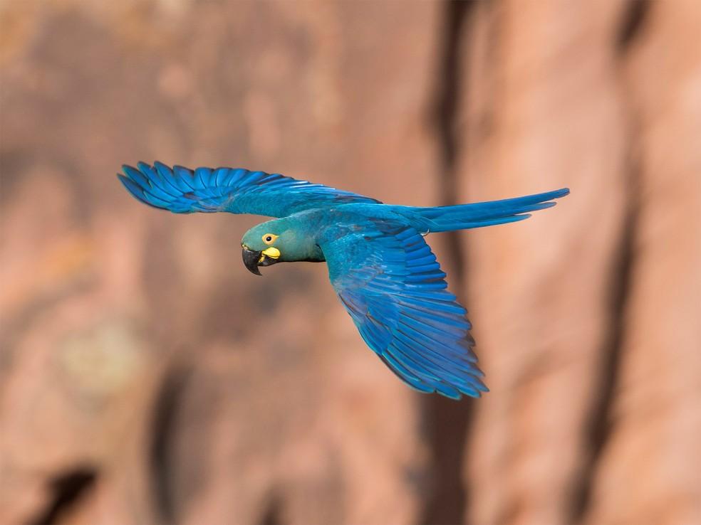 Arara-azul-de-lear está extremamente ameaçada de extinção — Foto: Sergio Gregorio/VC no TG