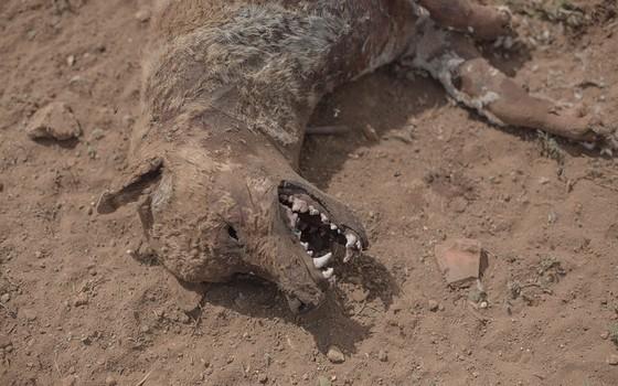 Os animais que não têm quem os sustente muitas vezes morrem de fome e sede, como este cachorro na Caatinga baiana (Foto: DANIEL MARENCO/AGÊNCIA O GLOBO)