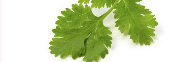 Coentro é rico em antioxidantes que previnem os danos causados pelos radicais livres (Foto: Think Stock)