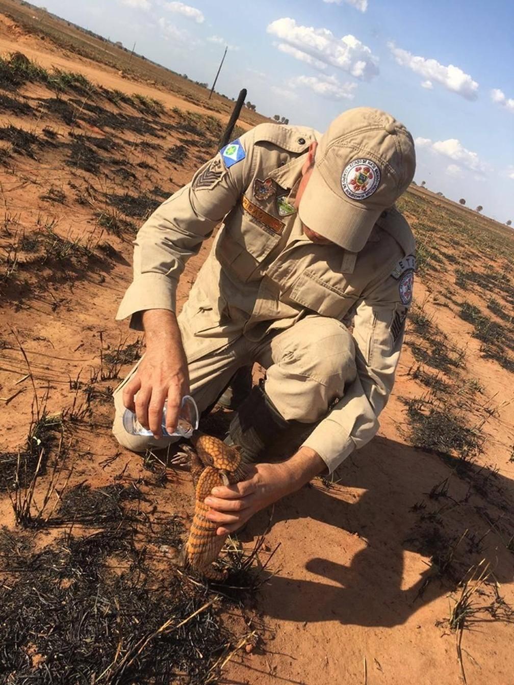 Filhote de tatu bebe água em copo oferecido por bombeiro que fazia perícia em pasto incendiado em Mato Grosso — Foto: Corpo de Bombeiros de Mato Grosso/Divulgação