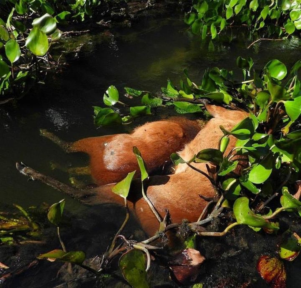 Corpos de cervos boiando em rio   Foto: Valtemir Mendes/Arquivo Pessoal