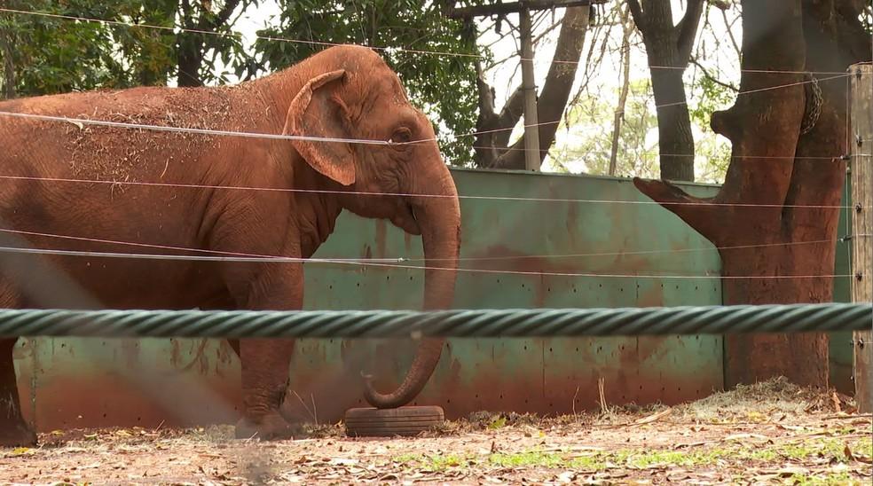 A elefanta Bambi, de 58 anos, chegou ao zoológico de Ribeirão Preto, SP, há seis anos — Foto: Carlos Trinca/EPTV