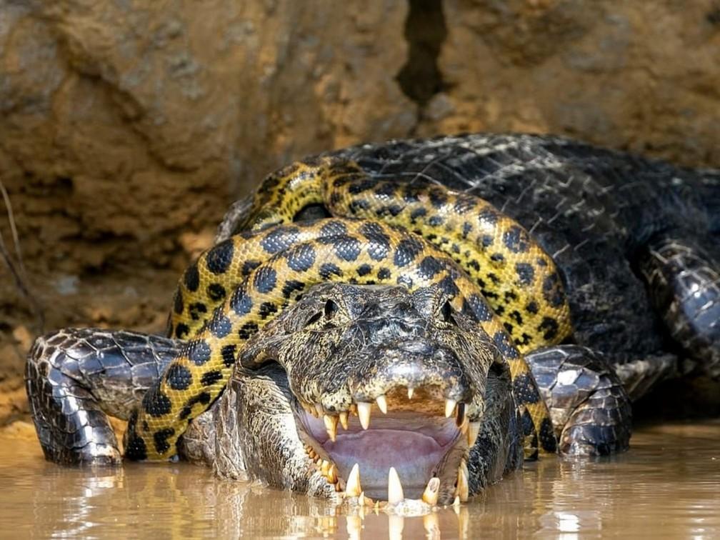 Jacaré e sucuri travam longa luta pela sobrevivência no Pantanal— Foto: Kim Sullivan - @ksulli16