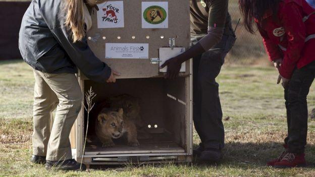 Se o filhote encontrado está bem, o próximo passo é achar um lugar para abrigá-lo, como um santuário, por exemplo (Foto: Getty Images via BBC News Brasil)